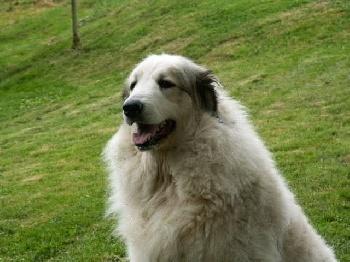 chiens-Chien-de-Montagne-des-Pyrenees-7302161e-38f8-6594-49f6-d18d501acf4d-1
